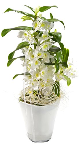 Orchidee nobile, Traubenorchidee weiß im Dekotopf Quadro