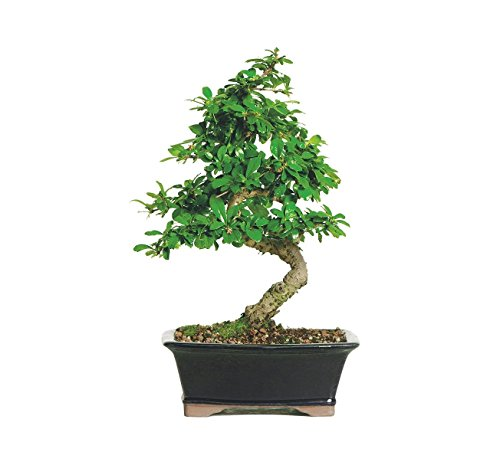 Brussel's Live Fukien Tea Indoor Bonsai Tree - 6 Years Old; 6' to 10' Tall with Decorative Container