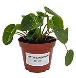 Hirt's Gardens Chinese Money Plant - Pilea peperomioides - 4' Pot