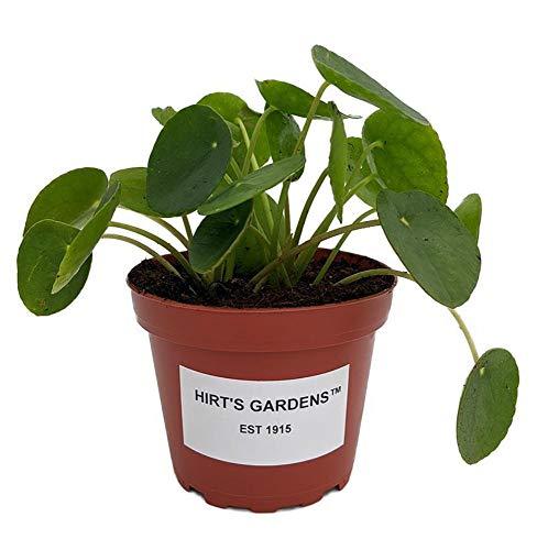 Hirt's Gardens Chinese Money Plant – Pilea peperomioides – 4″ Pot