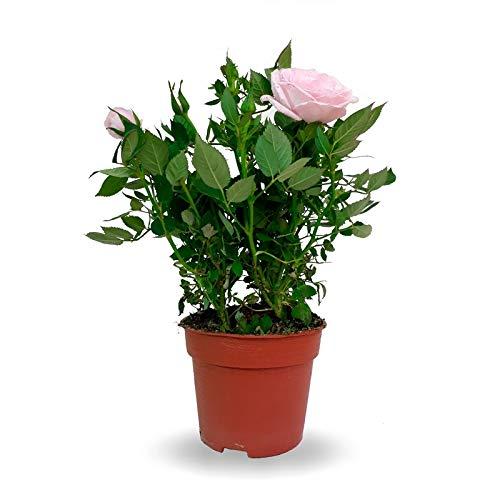 Mini Rosal con Flores de Diferentes Colores en Maceta Pequeña Planta Natural
