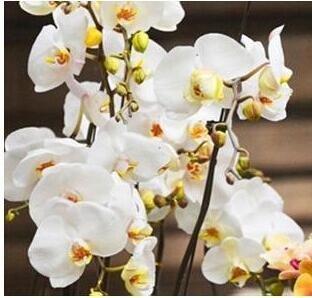10pcs/lot papillon graines d'orchidées, fleurs d'intérieur bonsaï quatre saisons, Phalaenopsis Orchidées jardin maison 8