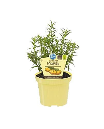 Bio Rosmarin (Rosmarinus officinalis), Kräuter Pflanzen aus nachhaltigem Anbau, (1 Pflanze)