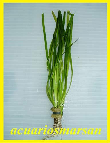 Desconocido Planta de Acuario, gambario. VALLISNERIA SPIRALIS. Cultivo sumergido