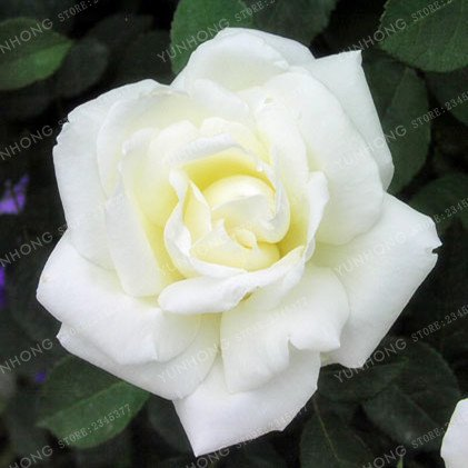 50 Pcs/Sac rares Graines Rose 24 couleurs au choix Belles graines de fleurs vivaces Balcon Jardin en pot Plante bricolage jardin 17
