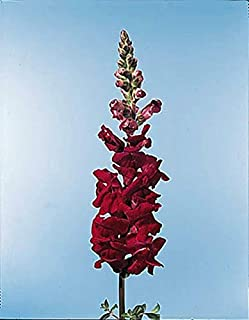 Snapdragon Rocket Cherry Seed