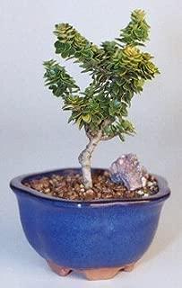 ilex crenata bonsai tree