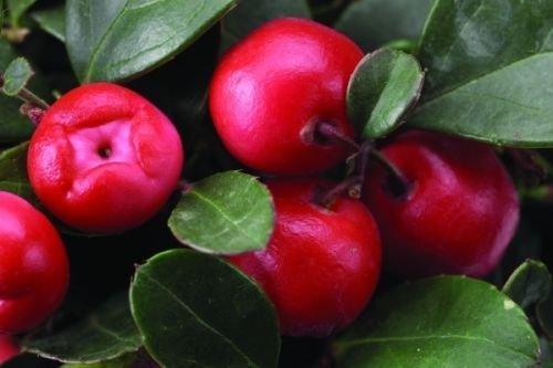 Wintergrün, Gaultheria Procumbens, 30 Samen, (essbare Früchte, Fragrant Bodendecker)