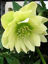 Perennial Farm Marketplace Helleborus x W.J. 'Golden Lotus' (Lenten Rose) Perennial, 1 Quart, Yellow Flowers
