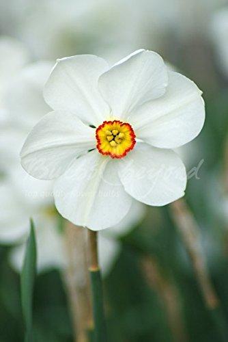 Bulbs & beyond 100 Narcisses Actaea - Calibre: 12/14 (Livraison Gratuite)