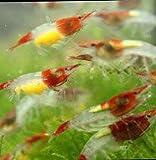 CIP 5 Red Rili (Neocaridina Davidi) Live Freshwater Aquarium Shrimps 1/4 to 1/2 inch