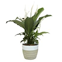 Costa Farms Spathiphyllum Peace Lily, Gift Live Indoor Plant, 15-Inch, Green