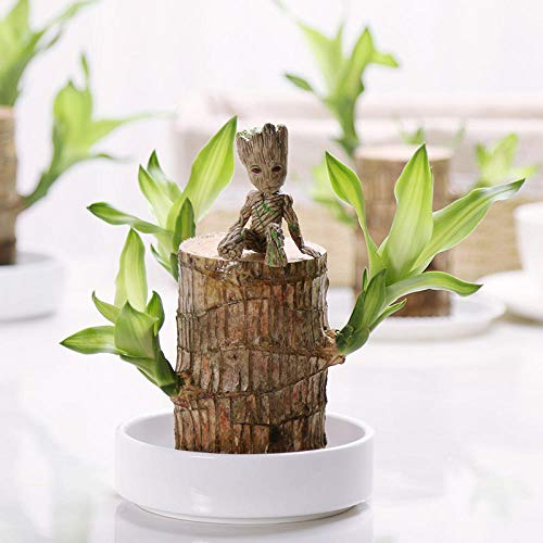 Brazil Lucky Badan Wood Hydroponic Potted Plant Stump Mini Plant Indoor Gift