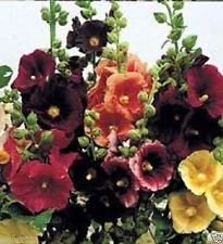 25 Glückliche Lichter Malve Mix Samen, Weiß, Gelb, Rot, Purpur, Pink! Single-Blume
