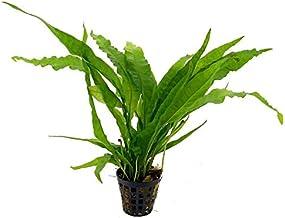 Premier Plants Amaze Aquarium Live Plants (Microsorum pteropus)