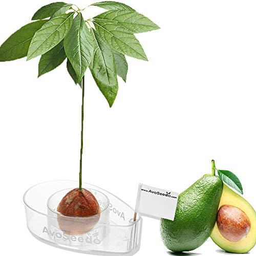 AvoSeedo das besondere Garten Geschenk - Pflanzen Sie Ihren eigenen Avocadobaum. Kleine Geschenke für Frauen und Männer Die Neue klein Dekoration