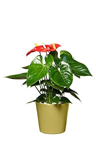 EVRGREEN | Zimmerpflanze Anthurie in Hydrokultur mit grünem Topf als Set | Flamingoblume | Anthurium andreanum 'Turenza' mittelrot