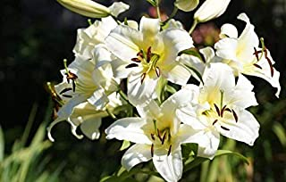 White Lily Bulbs(10 Bulbs) Hot Sale Perfume Lily Rare Balcony Bonsai Essential Decoration