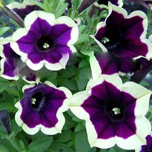 100 pcs Cascadia Jante Magenta Pétunia Violet foncé Blooms avec une crème Edge Fleur Graines pour maison Bonsai plantes pour la décoration