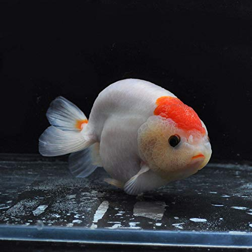【金魚王子】もみじらんちゅう(丹頂タイプ) (13センチ前後) 個体番号:dfg233 金魚 きんぎょ 生体 らんちゅう 厳選個体