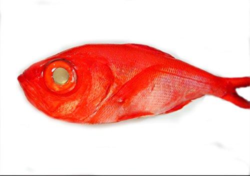 築地魚群 天然 金目鯛 国産 1尾 1.5-2kgサイズ
