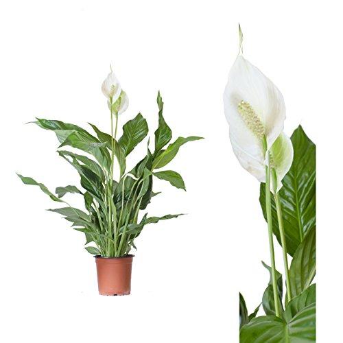 Spathiphyllum/Friedenslilie - 50 cm +/- Scheidenblatt, Blattfahne, Einblatt, tropische zimmer pflanzen, raum luftreinigend, dekorativ