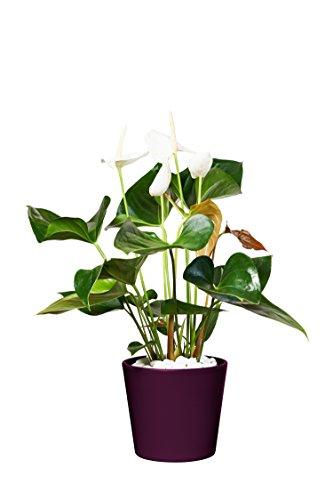 EVRGREEN | Zimmerpflanze Anthurie in Hydrokultur mit violettem Topf als Set | Flamingoblume | Anthurium andreanum Sumi weiß