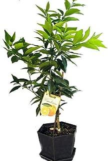 Clementine De Nules Mandarin Orange Tree - Potted - Citrus - 6