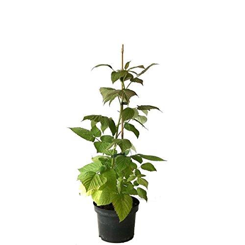 Müllers Grüner Garten Shop NEU! Zwerghimbeere Lowberry® Little Sweet Sister® frühe Himbeersorte ca. 40 cm im 3 Liter Topf