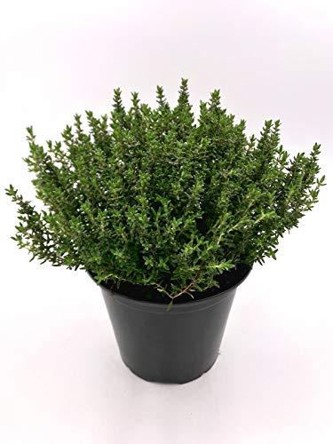 XXL - Thymian Pflanze, Thymus vulgaris Kräuter Pflanze 1stk