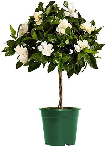 AMERICAN PLANT EXCHANGE Gardenia Veitchii Mini Topiary Tree Live Plant, 6' Pot, Dark Green Foliage Fragrant White Flowers