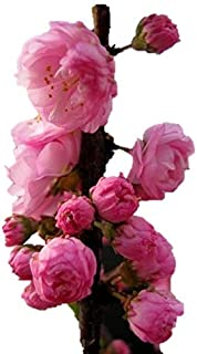 Flowering Almond Tree/Shrub - Hardy Established Roots - 1 Trade Gallon Potted Plant by Growers Solution