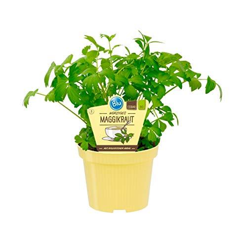 Bio Maggikraut, Liebstöckl (Levisticum officinale), Kräuter Pflanzen aus nachhaltigem Anbau, (1 Pflanze)
