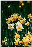 Bulbos de Narciso,FáCil De Cultivar,Bulbo Floreciente,Flores En El JardíN De Verano,Bulbo De La Planta-2 Bulbos,2
