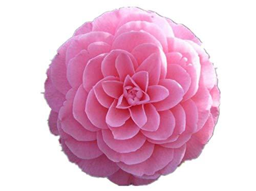 KINGDUO Egrow 10Pcs/Pack Camellia Fleurs Graines en Pot Plantes Maison Jardin Décorations Fleurs Graines-Rose Clair
