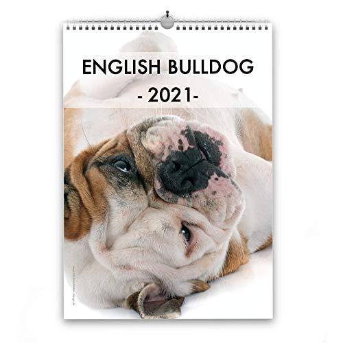 Englische Bulldogge Kalender 2021 | A4 Hunde Wandkalender Fotokalender Hunderassen English Bulldog