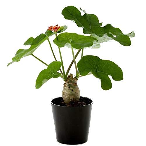 Rare Buddha Belly Plant - Jatropha podagrica - 6' Pot - Collector's Series