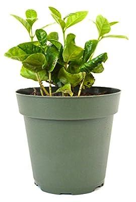 "9GreenBox - Arabica Coffee Plant - 4"" Pot"