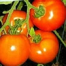 200 Seeds Spring Tomato Oregon #MRB01