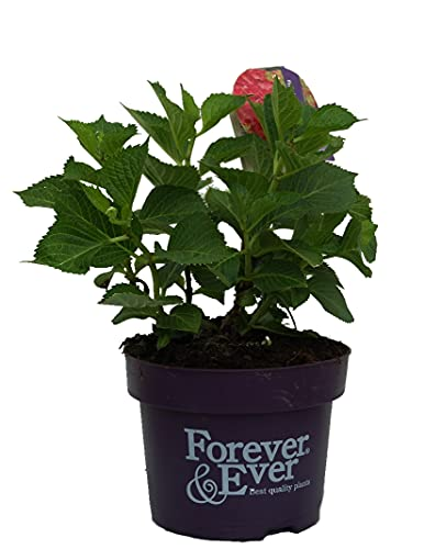Hortensie `Forever and Ever´Rot,...