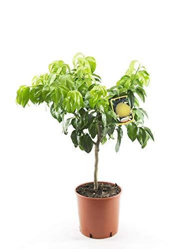 Bergamotte 80-100 cm - Citrus bergamia - Bergamotto