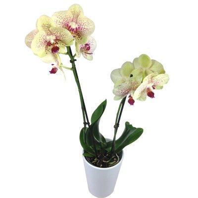 Gelbe Orchidee - Inklusive Keramikübertopf - Zimmerpflanze - Büropflanze