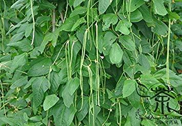 VISTARIC Ernte Tomtato Samen Beide Tomaten und Kartoffeln von dieser einzigartigen Anlage! All Natural - 5 PC/Los