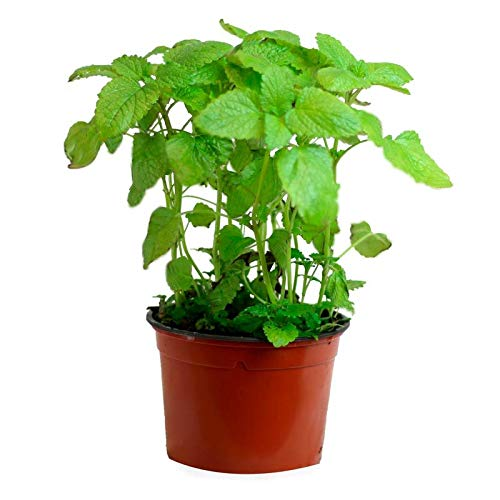 Hierbabuena (Maceta 13 cm Ø) - Planta viva - Planta aromatica