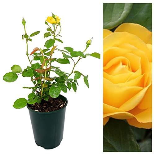 Rose Bush Arthur Bell - Floribunda Rose Bush for The Garden in a 3Litre Pot