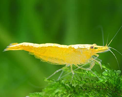 Garnelen Einsteigergarnelen Neocaridina davidi - lebend Zwerggarnelen für das Aquarium - 5er Pack, Farbe gelb mit Rückenstrich