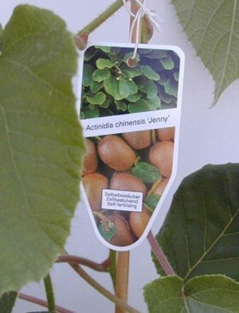 Kiwi selbstfruchtend Actinidia chinensis Jenny -R- 80 cm hoch im 3 Liter Pflanzcontainer