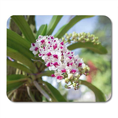 Muismat rood Azië Rhynchostylis Gigantea Orchidee Thailand Belle Blooming muismat muismat
