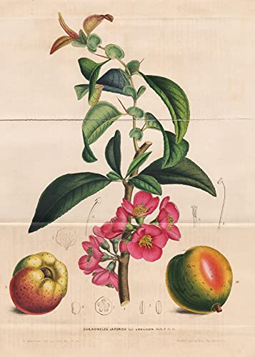 Chaenomeles Japonica - flower flowers Blume Botanik Botanical Botany antique print
