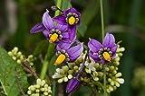 Asklepios-seeds® - 1000 Semillas de Solanum dulcamara Dulcamara, adela